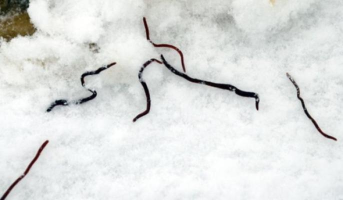 Yağan karın içinden yüzlerce kurt çıktı!